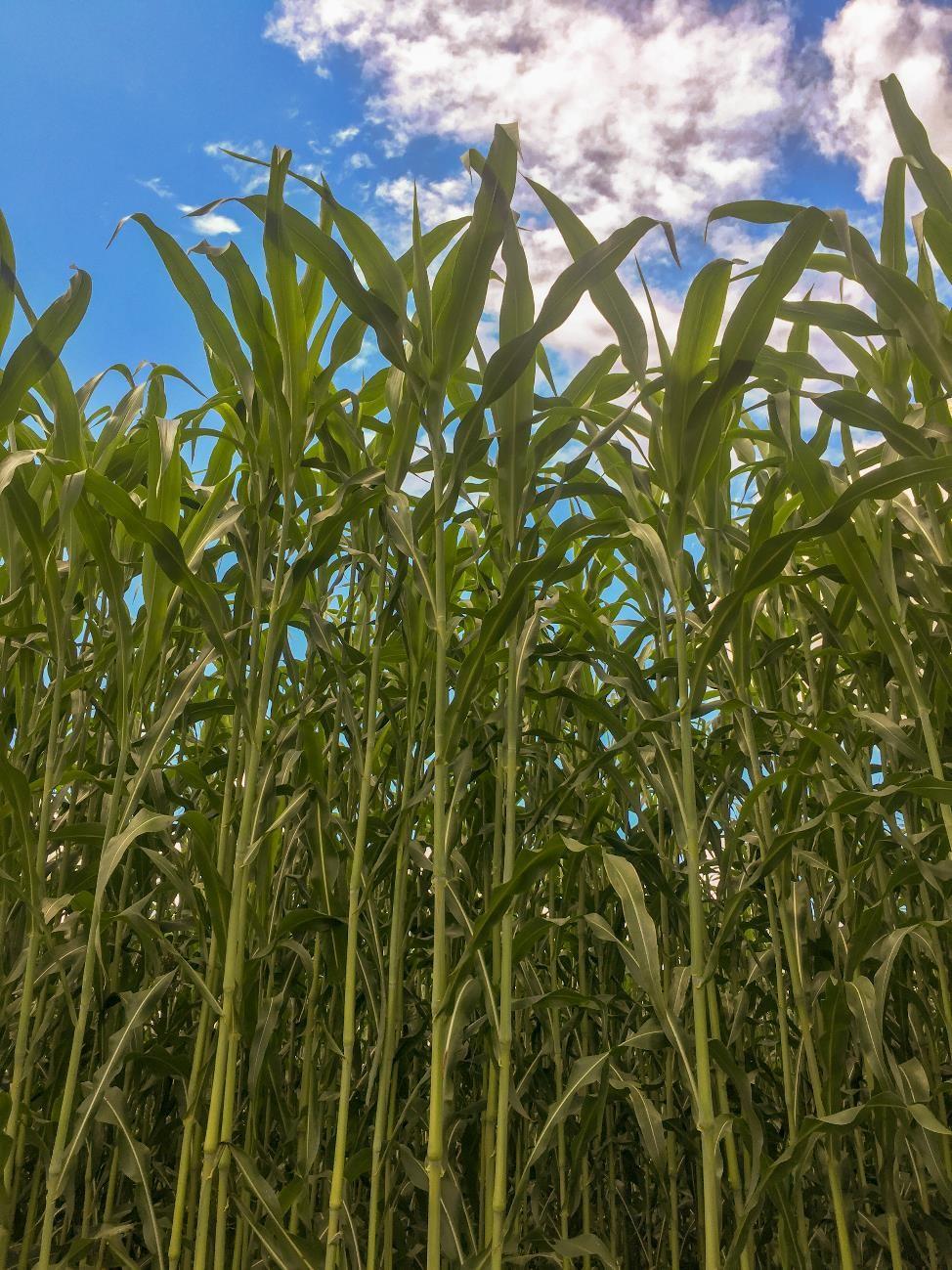 Biomass sorghum in a field