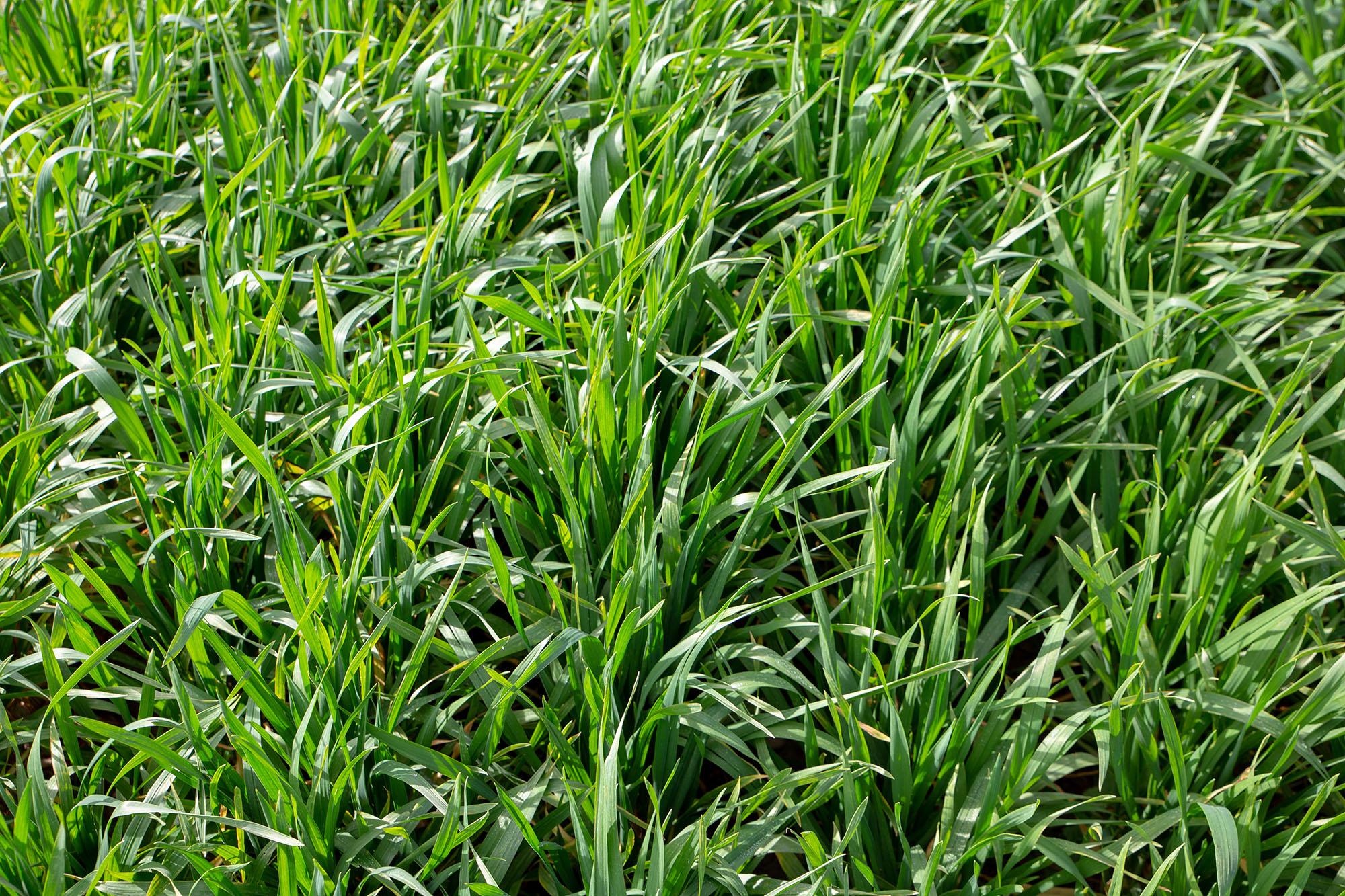 Green triticale in field
