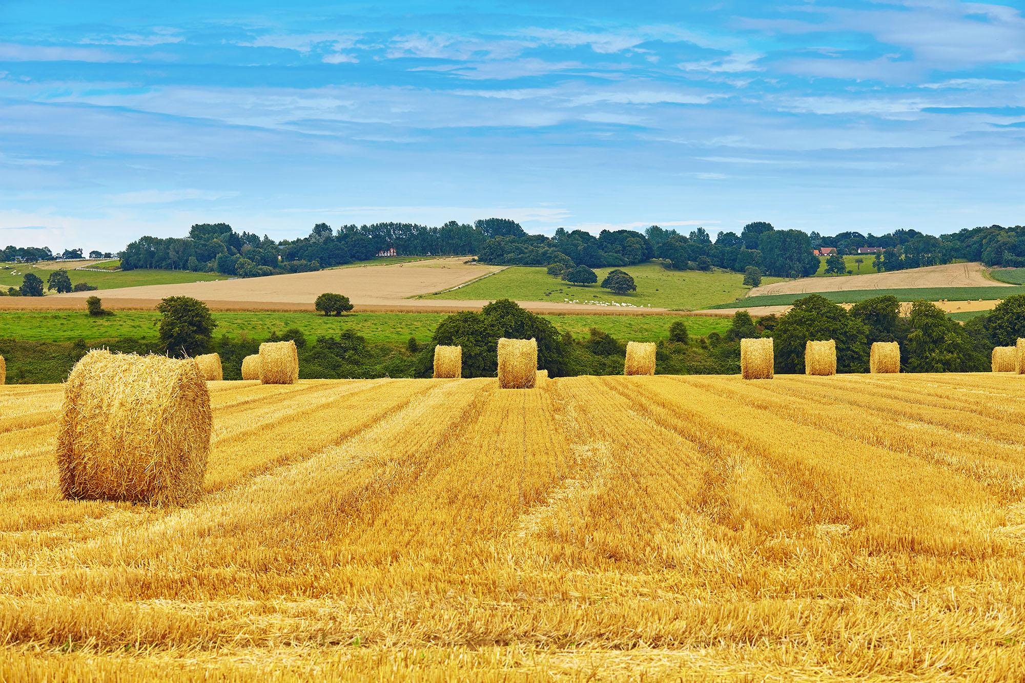 Wheat Straw Bales in field